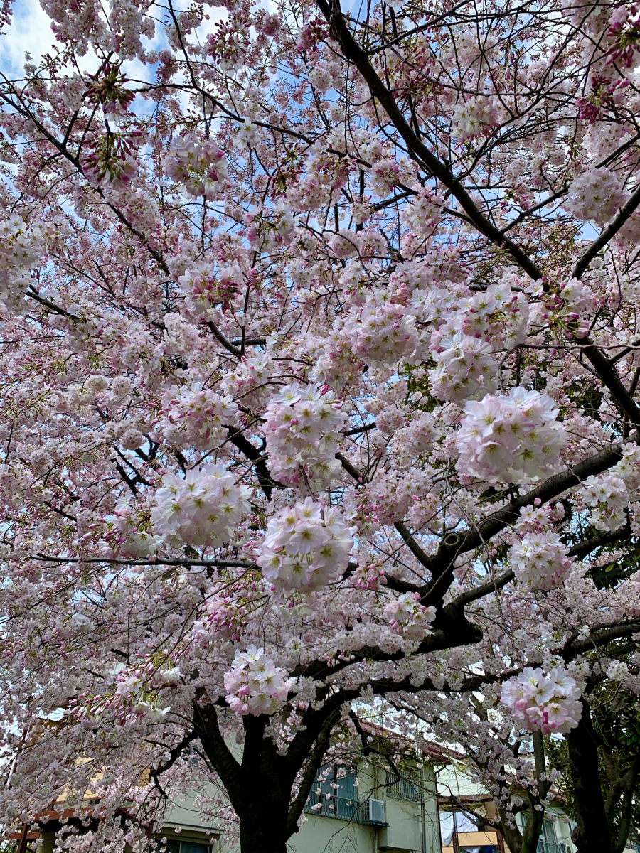 cherry-blossom-1-2-scaled