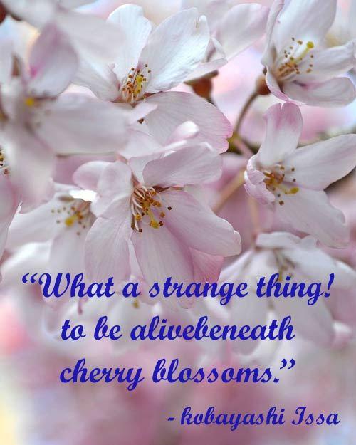 cherry-blossoms-poem